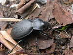 Lderlber (Carabus coriaceus)